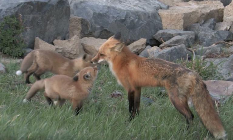 În Hargita au fost vaccinate vulpile. Niciun caz de rabie n-a mai fost depistat în ultimii ani